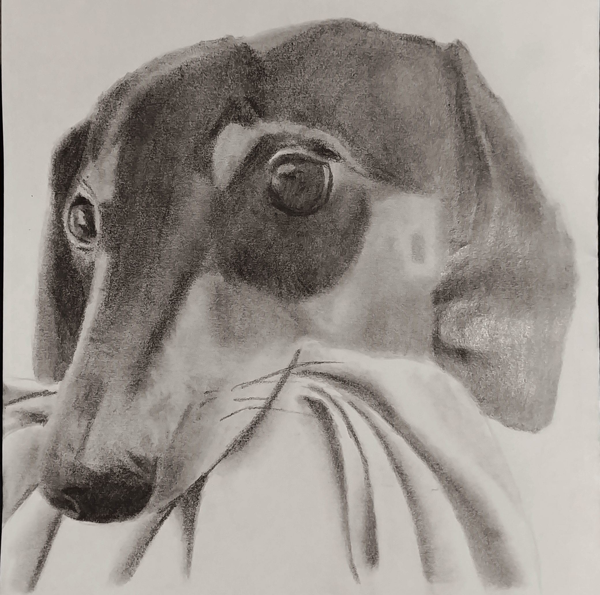 A pencil drawing of Khiron, my puppy, after he stole a blanket and refused to let it go.