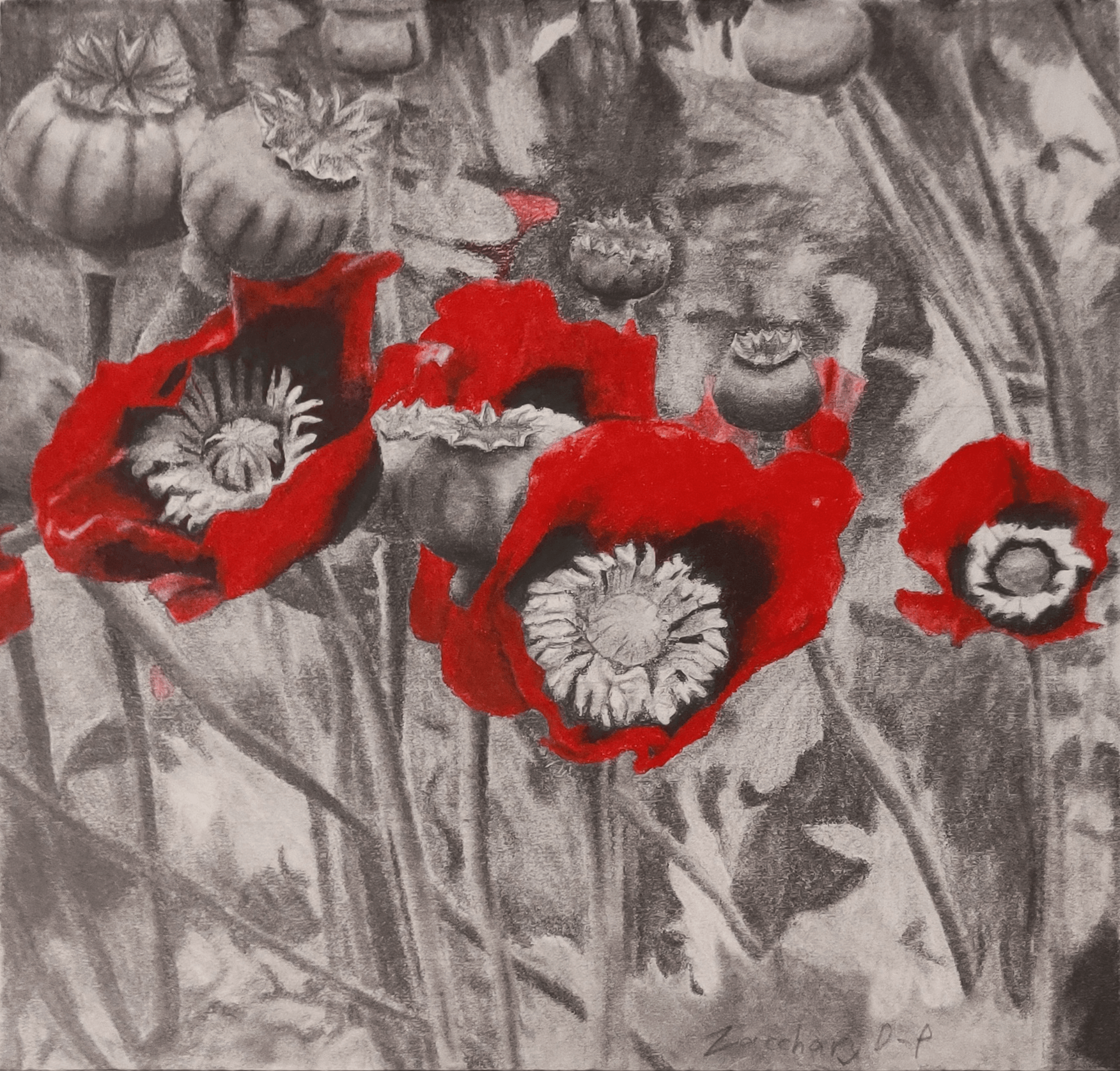 A pencil drawing of opium poppies, except the red of the poppies is done in red pencil crayon to stand out and create contrast.
