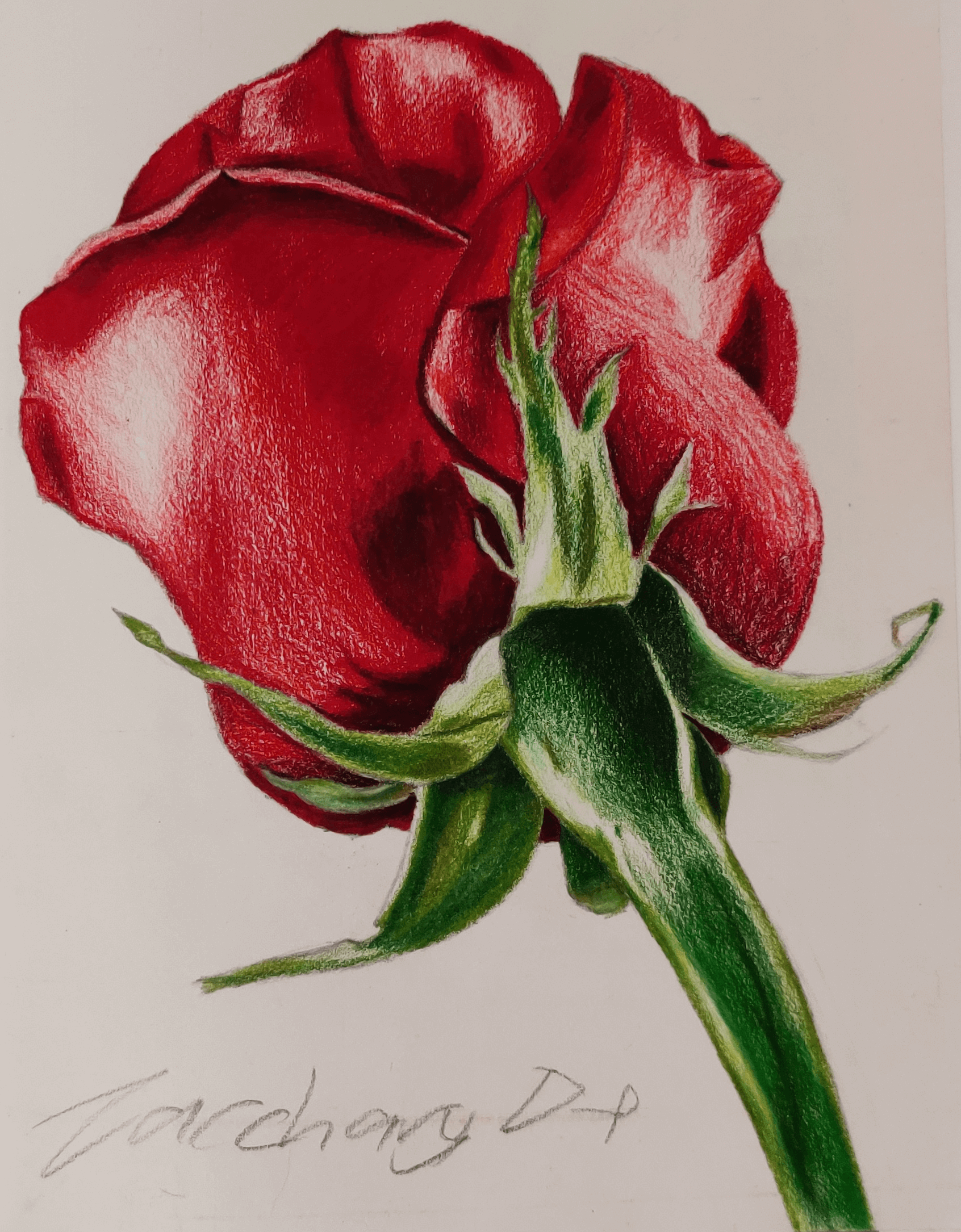 A colour value drawing of a rose done in pencil crayon.